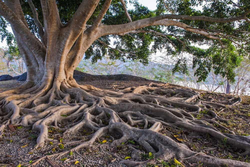 Canopy Comments – Root Girdling