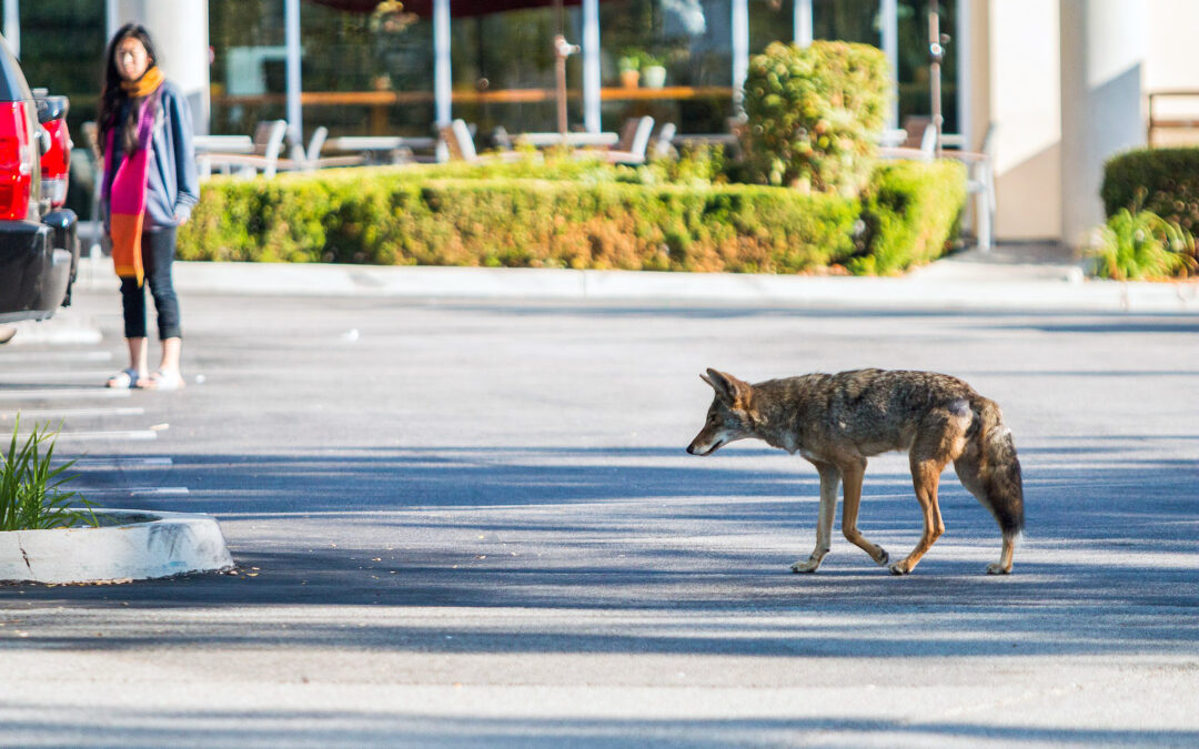 Living With Urban Coyotes
